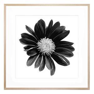 Gerbera Noir - Framed Print